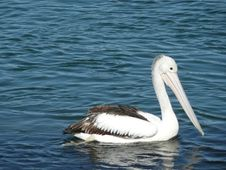 Free Pelican In River. Royalty Free Stock Photo - 5946905