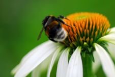 Free Bee On Coneflower Royalty Free Stock Photography - 5947747