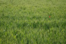 Free Field Of Wheat With Poppy Stock Image - 5948711