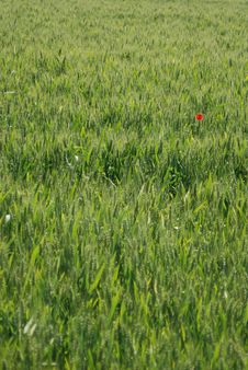 Field Of Wheat With Poppy Royalty Free Stock Photo