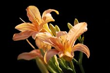 Free Tiger Lily Royalty Free Stock Photos - 5948878