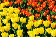 Free Tulip Stock Images - 5949214