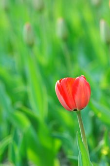 Free Isolation Tulip Stock Image - 5949251