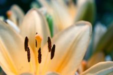 Free Tender Lily Stock Photography - 5949922