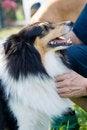Free Shetland Sheepdog Royalty Free Stock Photo - 5957105