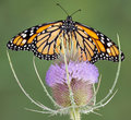 Free Monarch On Teasel Stock Photo - 5958740