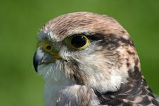 Free Peregrine Falcon Bird Of Prey Royalty Free Stock Images - 5950499