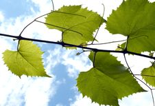Free Grape Vine Royalty Free Stock Images - 5950549