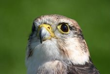 Free Bird Of Prey Peregrine Falcon Royalty Free Stock Photography - 5950657