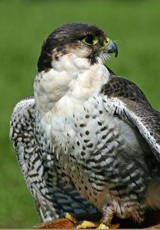 Free Hawk Bird Of Prey Stock Photos - 5950683