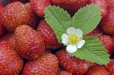 Free Strawberry. Royalty Free Stock Photo - 5951815