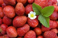 Free Strawberry. Royalty Free Stock Images - 5951819
