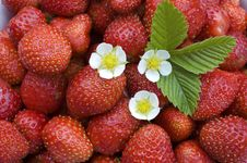 Free Strawberry. Stock Photos - 5951823