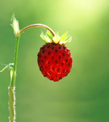 Free Wild Strawberry Royalty Free Stock Photos - 5952438