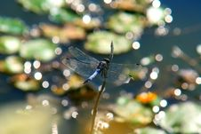 Free Dragonfly Royalty Free Stock Photo - 5953595