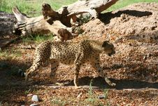 Free Cheetah Walking Royalty Free Stock Image - 5953806