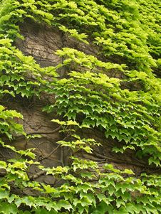 Free Ivy On Wall Stock Photos - 5954313