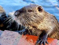 Free Water Rodent Stock Photography - 5955012