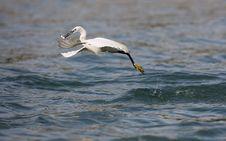 Free Egret Hunting Royalty Free Stock Photo - 5955035