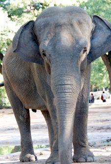 Free Elephant Royalty Free Stock Photos - 5955038