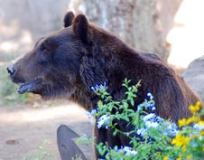 Free Brown Bear Royalty Free Stock Photography - 5955047