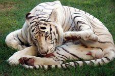 Free Albino Bengal Tiger Stock Image - 5955071