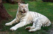 Free Albino Bengal Tiger Royalty Free Stock Photos - 5955078