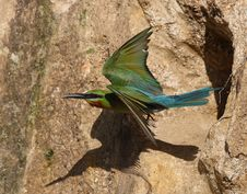 Free Bee Eater Stock Images - 5955234