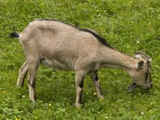 Free Goat Stock Photography - 5955252