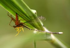 Spider Catching Dragonfly Stock Image