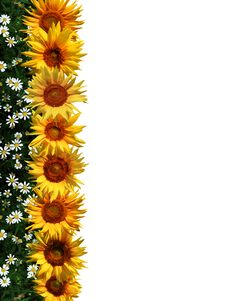 Line Of Sunflowers Royalty Free Stock Image
