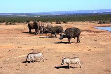 Free Buffaloes, Warthogs And Elephants Stock Photo - 5956480