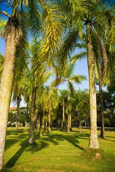 Free Coconut Tree Royalty Free Stock Photos - 5957098