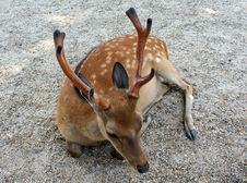 Free Resting Deer Stock Photo - 5958260