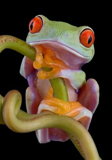 Free Red-eyed Tree Frog Resting On Vine Royalty Free Stock Image - 5959036