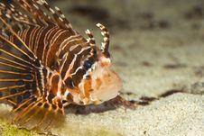 Free Lionfish Royalty Free Stock Photos - 5959578