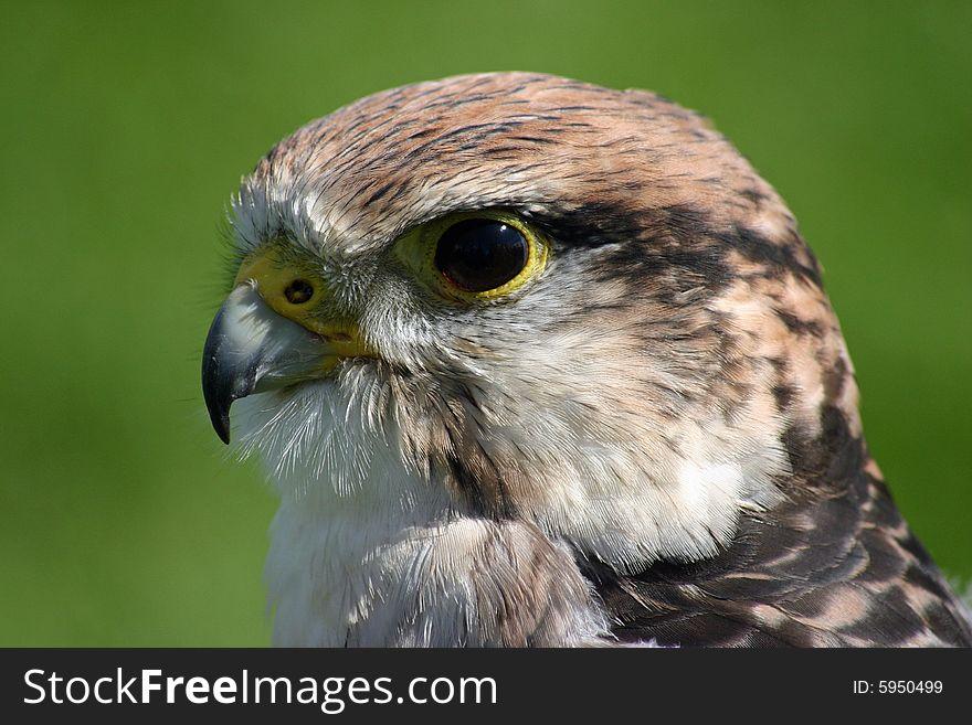 Peregrine falcon bird of prey