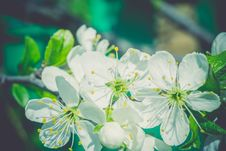 White Blossom In Spring Retro Stock Photography