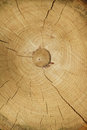 Free Cross Section Of Tree Trunk Showing Growth Rings Royalty Free Stock Photography - 59591947