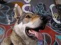 Free Wolf-dog With Graffiti Stock Photos - 5965113