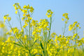Free Yellow Rape Flowers Stock Photography - 5965862