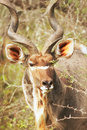 Free Young Kudu Bull In Overgrown Bushes Stock Image - 5967781