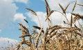 Free Wheaten Ears Royalty Free Stock Image - 5968036