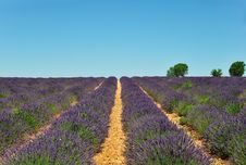Free Lavender Field With Trees Stock Photography - 5960602