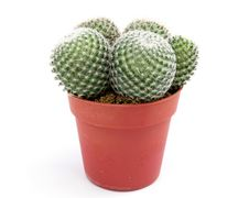 Free Green Cactus Royalty Free Stock Photos - 5961438