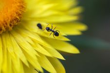 Free Ant On A Yellow Flower Royalty Free Stock Photo - 5962295