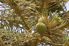 Pine Tree Branch Royalty Free Stock Photo