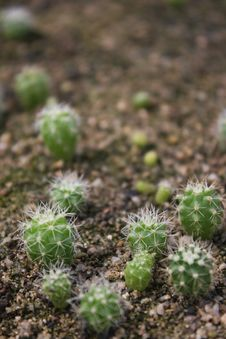 Free Baby Cactus Royalty Free Stock Photo - 5963335
