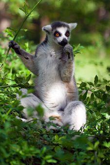 Free Lemur Royalty Free Stock Photography - 5963507