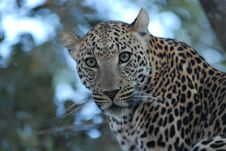 Free African Leopard Royalty Free Stock Photography - 5964147